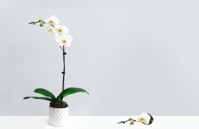 the-only-orchid
